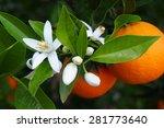 valencian orange and orange...   Shutterstock . vector #281773640