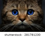 Stock photo portrait of a cat scottish straight with blue eyes closeup 281781230