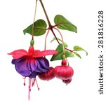 A Branch Fuchsia Lena Flower...
