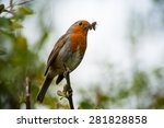 red robin bird eating an insect | Shutterstock . vector #281828858