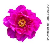 pink blooming peony isolated | Shutterstock . vector #281830190