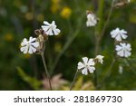 Flowers Of Silene Vulgaris....