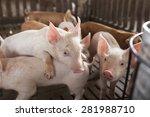small pigs in the farm   Shutterstock . vector #281988710
