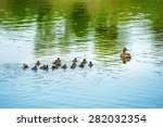 Duck Family With Many Small...