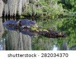 American Alligator In The...
