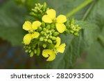 Mustard Flower Sinapis Aiba...