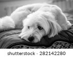 Black And White Dog Portrait O...