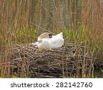 Swan Breeds In His Nest