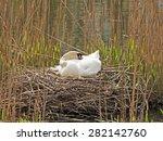 Swan Breeds In His Nest
