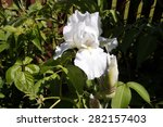 A White Bearded German Iris ...