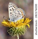 California Hairstreak Butterfly ...