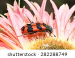 Bright striped Bee beetle (Trichodes apiarius) on a flower