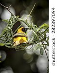 Small photo of Masked Weaver doing home improvements to it's nest.