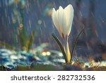 Single Flower Of White Crocus...