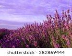 Purple Lavender Flowers In The...