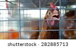 Close Up Of Sad Chicken Or Hen...