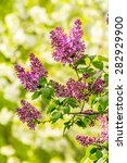 lilac flowers with leafs on blurred cherry tree background  - stock photo