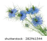 Small photo of Nigella damascena aka Love-in-a-mist. Beautiful blue cottage garden plant. Flowers isolated on white.