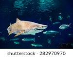sand tiger shark  carcharias...   Shutterstock . vector #282970970