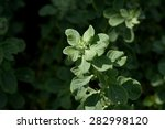 Small photo of Aerva lanata (l.) Juss.ex Schult trees., the properties diabetes