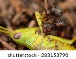 ant eating green grasshopper.... | Shutterstock . vector #283153790