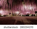 Wisteria In Ashikaga Park  Japan