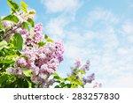 Beautiful Lush Flowers Of Lila...