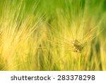 wheat closeup | Shutterstock . vector #283378298