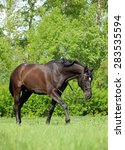 Small photo of Nice brown warmblood horse walking on pasture