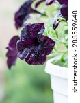 Dark Purple Petunia Closeup