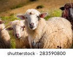 flock of sheep grazing on the... | Shutterstock . vector #283590800