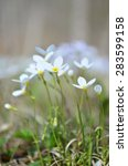 white bluets | Shutterstock . vector #283599158