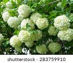 Flowering Spring White Guelder...