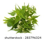 White Deadnettle  Lamium Album...