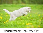 Stock photo white british shorthair cat hunting on the field 283797749