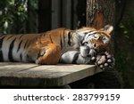 Sumatran Tiger  Panthera Tigris ...