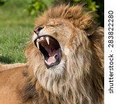 Lion Having A Yawn Showing...