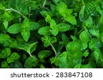 The Leaves Of Fresh Mint
