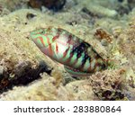 Small photo of Nebulous wrasse (labridae)