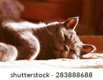 British Shorthair Cat Sleeping...
