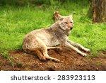 coyote in the wilderness | Shutterstock . vector #283923113