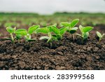 Fresh Green Soy Plants On The...