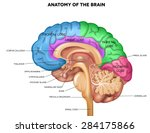 human brain lobes  beautiful... | Shutterstock .eps vector #284175866