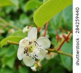 Small photo of Flower and leaves of the baby kiwi berry fruit (actinidia arguta) growing on the vine