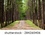 Pine Tree Along Walk Trail Road ...