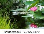 A Pink Lotus Flower Blooming...