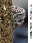 Screech Owl Look For The Wrong...