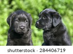 Cute Black Labrador Retriever...