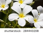 white plumeria flowers blooming | Shutterstock . vector #284443208