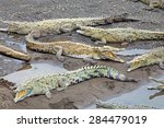 American Crocodiles Bask Along...